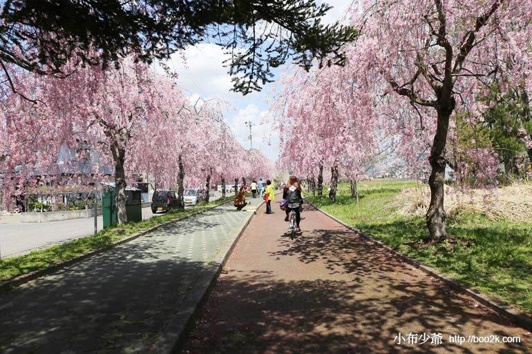 ▌2015福島賞櫻 ▌喜多方千株垂枝櫻超過三公里的賞櫻步道,日中線記念自転車歩行者道のしだれ桜